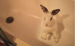 Как купать декоративного кролика