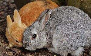 Кокцидиоз у кроликов - симптомы и лечение