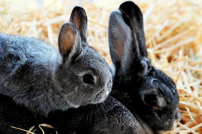 Симптомы кокцидиоза у кроликов